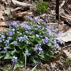 Plant form: Viola affinis. ~ By John Gwaltney. ~ Copyright © 2021 John Gwaltney. ~ southeasternflora.com ~ Southeastern Flora - www.southeasternflora.com/