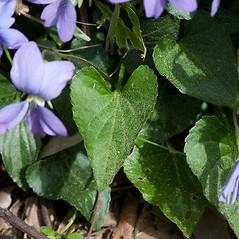Leaves: Viola affinis. ~ By John Gwaltney. ~ Copyright © 2021 John Gwaltney. ~ southeasternflora.com ~ Southeastern Flora - www.southeasternflora.com/
