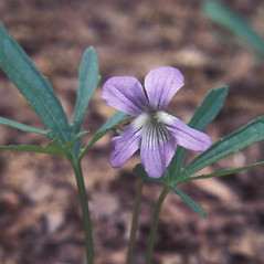 Flowers: Viola brittoniana. ~ By John Lynch. ~ Copyright © 2020 New England Wild Flower Society. ~ Image Request, images[at]newenglandwild.org