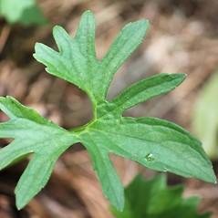 Leaves: Viola brittoniana. ~ By Mareike Conrad. ~ Copyright © 2020 Mareike Conrad. ~ mareike.conrad[at]googlemail.com