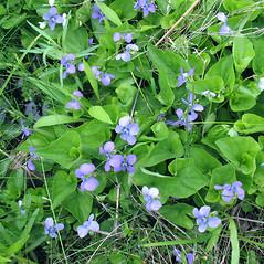 Plant form: Viola cucullata. ~ By Marilee Lovit. ~ Copyright © 2020 Marilee Lovit. ~ lovitm[at]gmail.com