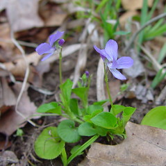Plant form: Viola labradorica. ~ By Arthur Haines. ~ Copyright © 2020. ~ arthurhaines[at]wildblue.net