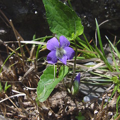 Plant form: Viola novae-angliae. ~ By Donald Cameron. ~ Copyright © 2020 Donald Cameron. ~ No permission needed for non-commercial uses, with proper credit