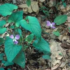 Plant form: Viola novae-angliae. ~ By Jean Baxter. ~ Copyright © 2021 New England Wild Flower Society. ~ Image Request, images[at]newenglandwild.org