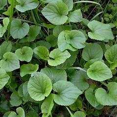 Leaves: Viola odorata. ~ By Keir Morse. ~ Copyright © 2021 Keir Morse. ~ www.keiriosity.com ~ www.keiriosity.com