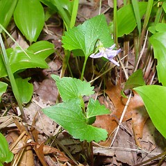 Plant form: Viola pectinata. ~ By Arthur Haines. ~ Copyright © 2020. ~ arthurhaines[at]wildblue.net