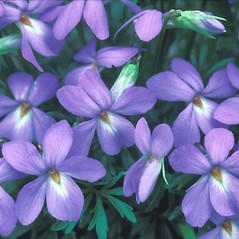 Flowers: Viola pedata. ~ By William Larkin. ~ Copyright © 2020 New England Wild Flower Society. ~ Image Request, images[at]newenglandwild.org