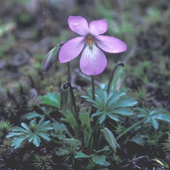 Plant form: Viola pedata. ~ By David Stone. ~ Copyright © 2020 New England Wild Flower Society. ~ Image Request, images[at]newenglandwild.org