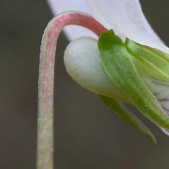 Stems: Viola primulifolia. ~ By Gerrit Davidse. ~ Copyright © 2020 CC BY-NC-SA 3.0. ~  ~ Tropicos, Missouri Botanical Garden - www.tropicos.org