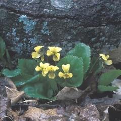 Plant form: Viola rotundifolia. ~ By Arieh Tal. ~ Copyright © 2020 Arieh Tal. ~ www.nttlphoto.com ~ Arieh Tal - www.nttlphoto.com