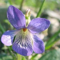 Flowers: Viola sagittata. ~ By Marilee Lovit. ~ Copyright © 2020 Marilee Lovit. ~ lovitm[at]gmail.com