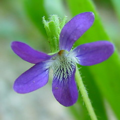 Flowers: Viola sagittata. ~ By Arthur Haines. ~ Copyright © 2021. ~ arthurhaines[at]wildblue.net