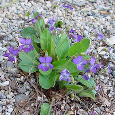 Plant form: Viola sagittata. ~ By Arthur Haines. ~ Copyright © 2021. ~ arthurhaines[at]wildblue.net
