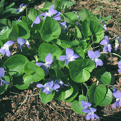 Plant form: Viola sororia. ~ By Marilee Lovit. ~ Copyright © 2020 Marilee Lovit. ~ lovitm[at]gmail.com