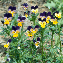 Plant form: Viola tricolor. ~ By Arthur Haines. ~ Copyright © 2020. ~ arthurhaines[at]wildblue.net