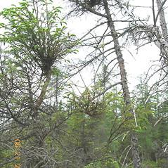 Plant form: Arceuthobium pusillum. ~ By Vermont Nongame & Natural Heritage Program. ~ Copyright © 2021 Vermont Nongame & Natural Heritage Program. ~ Bob.Popp[at]state.vt.us ~ Vt Nongame & Natural Heritage Program