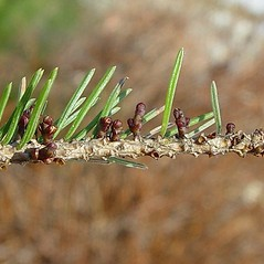 Leaves: Arceuthobium pusillum. ~ By Arthur Haines. ~ Copyright © 2021. ~ arthurhaines[at]wildblue.net