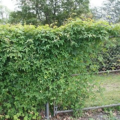 Plant form: Ampelopsis glandulosa. ~ By Arieh Tal. ~ Copyright © 2020 Arieh Tal. ~ http://botphoto.com/ ~ Arieh Tal - botphoto.com