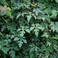 Leaves: Ampelopsis glandulosa. ~ By Arieh Tal. ~ Copyright © 2020 Arieh Tal. ~ http://botphoto.com/ ~ Arieh Tal - botphoto.com