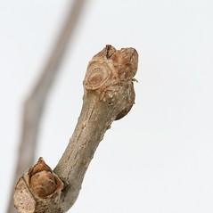 Winter buds: Parthenocissus quinquefolia. ~ By Arieh Tal. ~ Copyright © 2020 Arieh Tal. ~ http://botphoto.com/ ~ Arieh Tal - botphoto.com