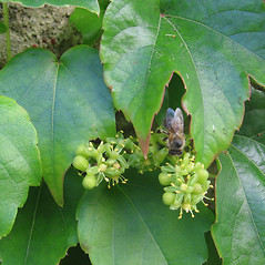 Flowers: Parthenocissus tricuspidata. ~ By Frantisek Pleva. ~  Public Domain. ~  ~ Encyclopedia of Life - www.eol.org