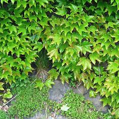 Plant form: Parthenocissus tricuspidata. ~ By Alexey Zinovjev. ~ Copyright © 2020. ~ webmaster[at]salicicola.com ~ Salicicola - www.salicicola.com/