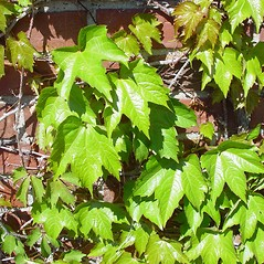 Leaves: Parthenocissus tricuspidata. ~ By Arthur Haines. ~ Copyright © 2021. ~ arthurhaines[at]wildblue.net