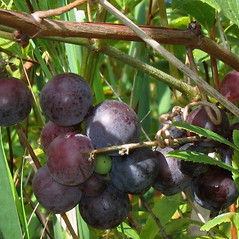 Fruits: Vitis labrusca. ~ By Alexey Zinovjev. ~ Copyright © 2021. ~ webmaster[at]salicicola.com ~ Salicicola - www.salicicola.com/