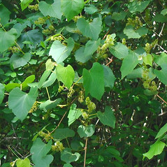 Plant form: Vitis labrusca. ~ By Alexey Zinovjev. ~ Copyright © 2021. ~ webmaster[at]salicicola.com ~ Salicicola - www.salicicola.com/