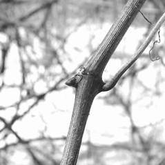 Winter buds: Vitis labrusca. ~ By Arthur Haines. ~ Copyright © 2020. ~ arthurhaines[at]wildblue.net