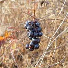Fruits: Vitis riparia. ~ By Arthur Haines. ~ Copyright © 2021. ~ arthurhaines[at]wildblue.net