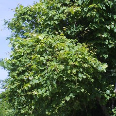 Plant form: Vitis vulpina. ~ By Steven Baskauf. ~ Copyright © 2021 CC-BY-NC-SA. ~  ~ Bioimages - www.cas.vanderbilt.edu/bioimages/frame.htm