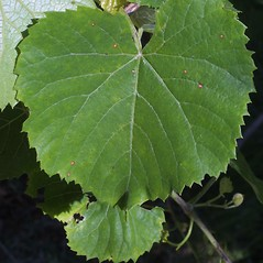 Leaves: Vitis vulpina. ~ By Steven Baskauf. ~ Copyright © 2021 CC-BY-NC-SA. ~  ~ Bioimages - www.cas.vanderbilt.edu/bioimages/frame.htm