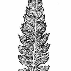 Sori: Athyrium angustum. ~ By Elizabeth Farnsworth. ~ Copyright © 2020 New England Wild Flower Society. ~ Image Request, images[at]newenglandwild.org