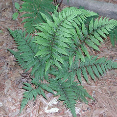 Plant form: Athyrium asplenioides. ~ By Robbin Moran. ~ Copyright © 2020 Robbin Moran. ~ rmoran[at]nybg.org ~ Plant Systematics - www.plantsystematics.org/