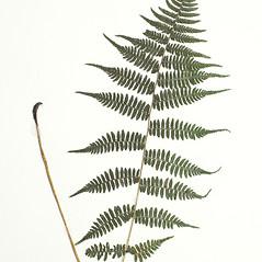 Leaf: Athyrium asplenioides. ~ By Derick B. Poindexter. ~ Copyright © 2020 Derick B. Poindexter. ~ dpoindex[at]live.unc.edu ~ Vascular Flora of Alleghany County, NC - vascularflora.appstate.edu/
