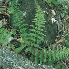 Plant form: Cystopteris bulbifera. ~ By Frank Bramley. ~ Copyright © 2020 New England Wild Flower Society. ~ Image Request, images[at]newenglandwild.org