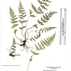 Plant form: Cystopteris tenuis. ~ By Arizona State Herbarium. ~ Copyright © 2020 Arizona State Herbarium. ~ Leslie Landrum, les.landrum[at]asu.edu ~ Southwest Environmental Information Network - swbiodiversity.org/seinet/imagelib/index.php