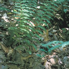 Plant form: Diplazium pycnocarpon. ~ By Frank Bramley. ~ Copyright © 2020 New England Wild Flower Society. ~ Image Request, images[at]newenglandwild.org