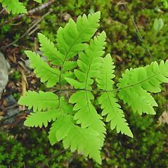Plant form: Gymnocarpium dryopteris. ~ By Glen Mittelhauser. ~ Copyright © 2019 Glen Mittelhauser. ~ www.mainenaturalhistory.org