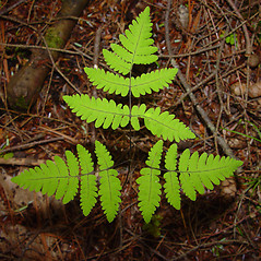 Leaf: Gymnocarpium dryopteris. ~ By Arthur Haines. ~ Copyright © 2021. ~ arthurhaines[at]wildblue.net