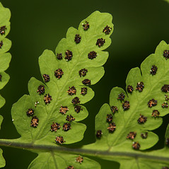 Sori: Gymnocarpium dryopteris. ~ By Walter Siegmund. ~ Copyright © 2021 CC BY-SA 3.0. ~  ~ Wikimedia