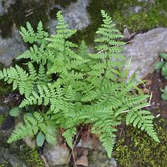Plant form: Woodsia obtusa. ~ By Steven Baskauf. ~ Copyright © 2020 CC-BY-NC-SA. ~  ~ Bioimages - www.cas.vanderbilt.edu/bioimages/frame.htm