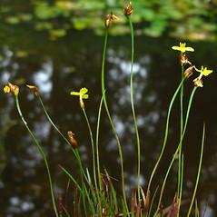 Plant form: Xyris difformis. ~ By Donna Kausen. ~ Copyright © 2021 Donna Kausen. ~ 33 Bears Den, Addison, ME 04606