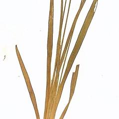 Leaves: Xyris difformis. ~ By William and Linda Steere and the C.V. Starr Virtual Herbarium. ~ Copyright © 2021 William and Linda Steere and the C.V. Starr Virtual Herbarium. ~ Barbara Thiers, Director; bthiers[at]nybg.org ~ C.V. Starr Herbarium - NY Botanical Gardens