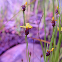 Flowers: Xyris montana. ~ By Arthur Haines. ~ Copyright © 2020. ~ arthurhaines[at]wildblue.net