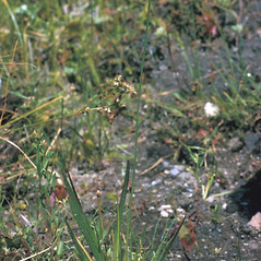 Plant form: Xyris smalliana. ~ By Frank Bramley. ~ Copyright © 2021 New England Wild Flower Society. ~ Image Request, images[at]newenglandwild.org