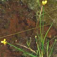 Plant form: Xyris torta. ~ By Alexey Zinovjev. ~ Copyright © 2021. ~ webmaster[at]salicicola.com ~ Salicicola - www.salicicola.com/