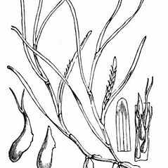 Flowers and fruits: Zostera marina. ~ By Walter Hood Fitch . ~  Public Domain. ~  ~ www.luirig.altervista.org