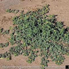 Plant form: Tribulus terrestris. ~ By Joseph DiTomaso. ~ Copyright © 2020 CC BY-NC 3.0. ~  ~ Bugwood - www.bugwood.org/